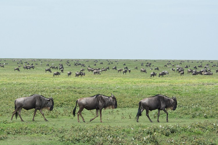 Gnus in der Serengeti