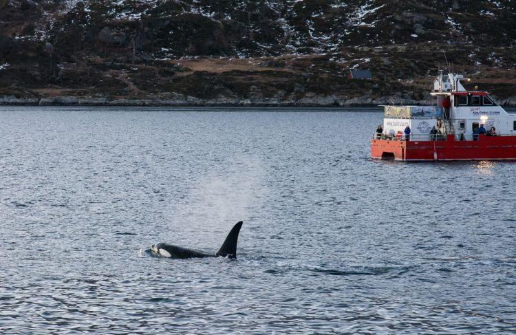 Schwertwal im Eismeer