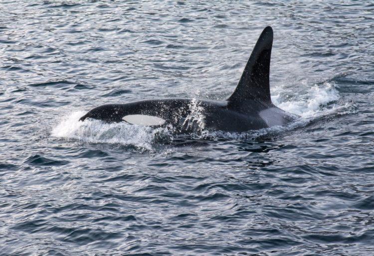 Orca auf Heringsjagd