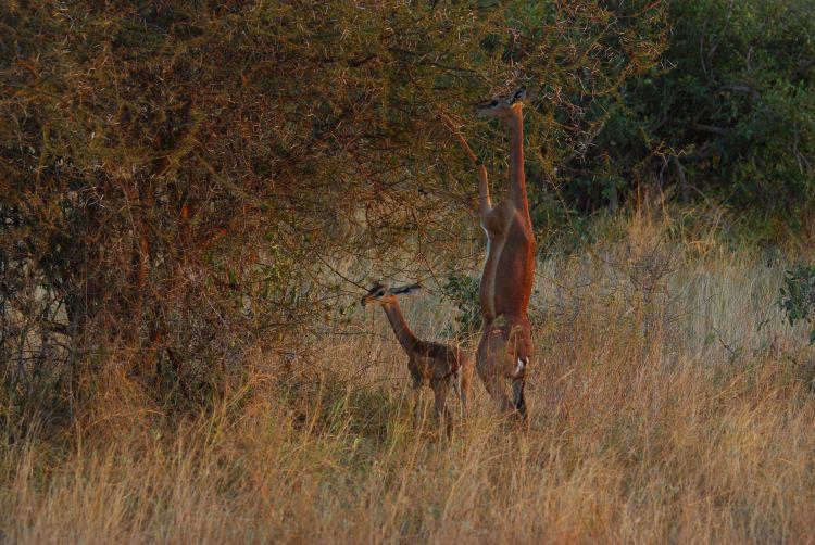 die Giraffenantilope