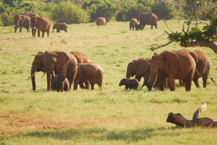 Elefantenherde mit Jungtieren
