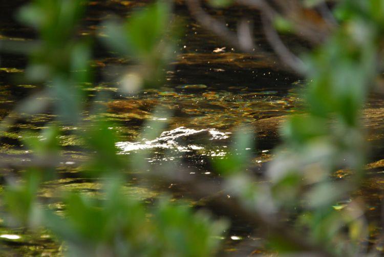 Krokodil in der Wasserquelle