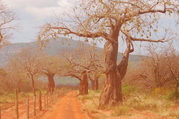 Baobab Straße durch Tsavo West