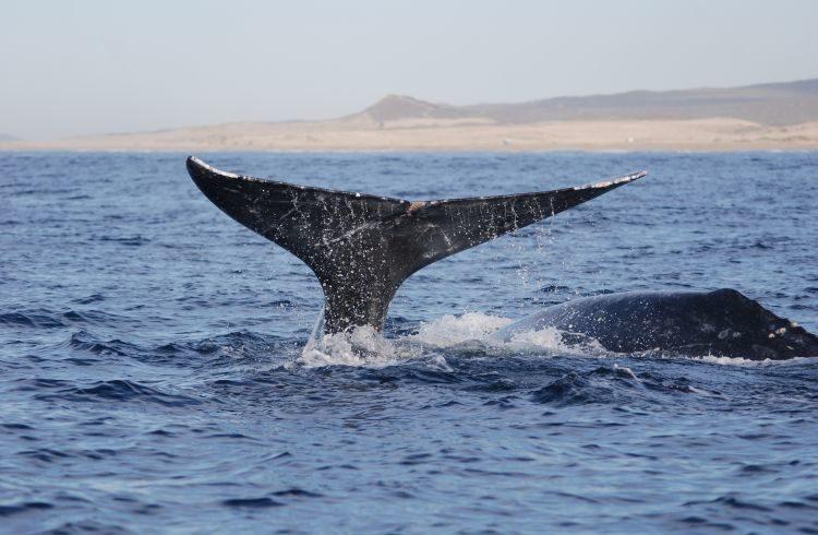 Grauwale vor Cabo San Lucas