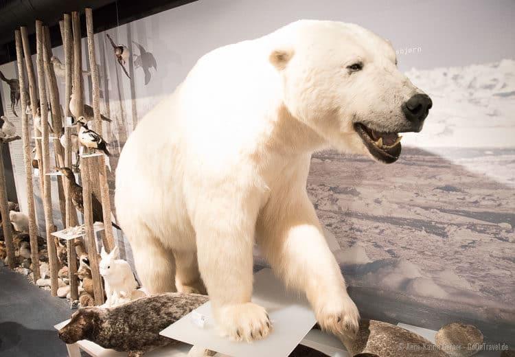 Eisbär im Eisbärenclub in Hammerfest