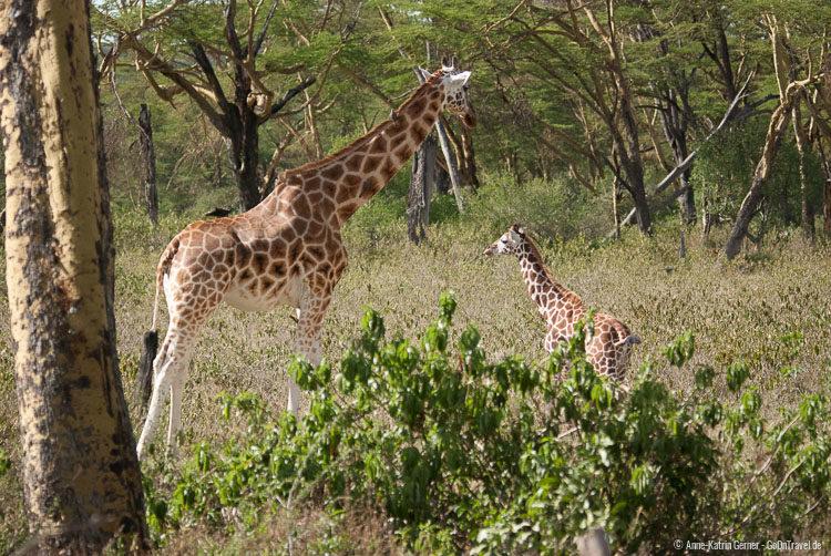 Rothschild-Giraffen im Akazienwald