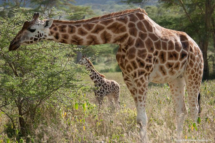 weibliche Rothschild-Giraffe mit Jungtier