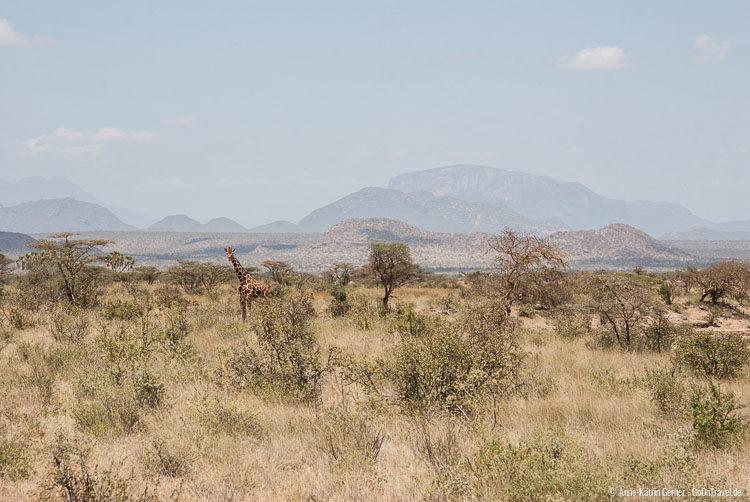 Netzgiraffe in Samburu