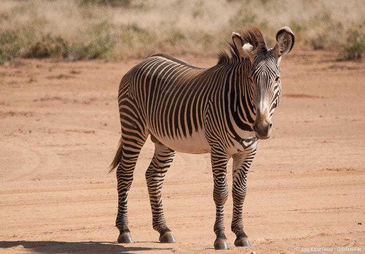 Grevy Zebrahengst in Samburu