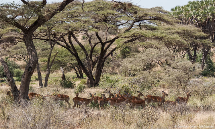 Impalas im Akazienwald