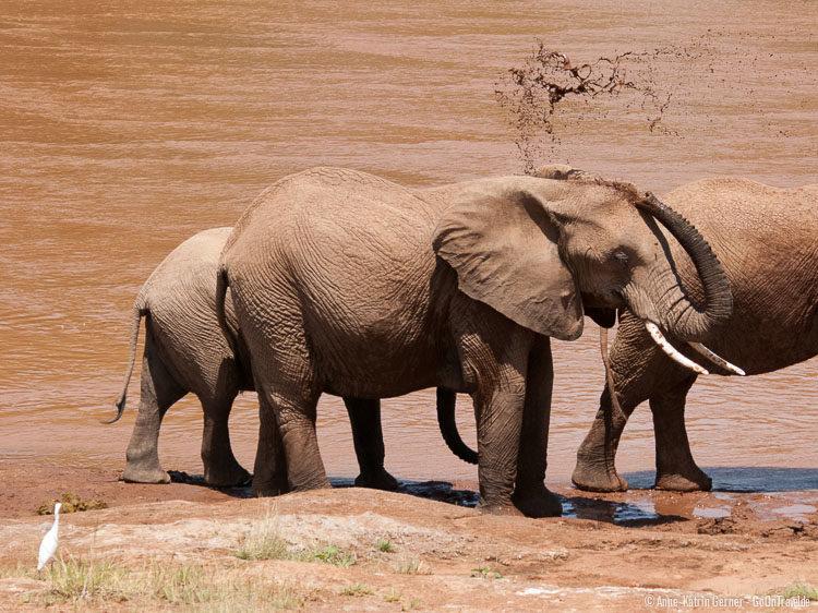 Elefanten am Ufer des Ewaso Nyiro