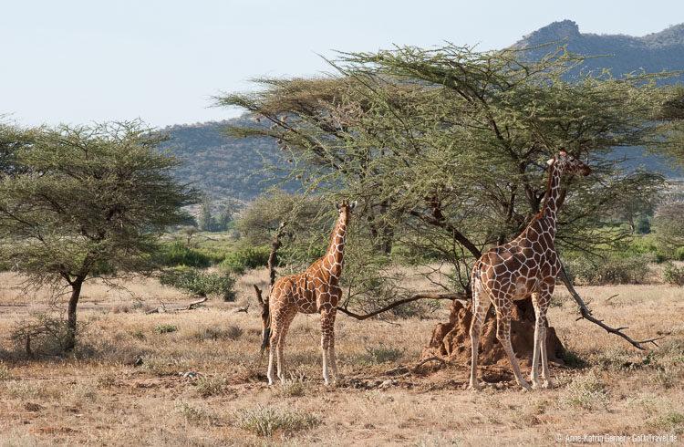Netzgiraffen in Samburu