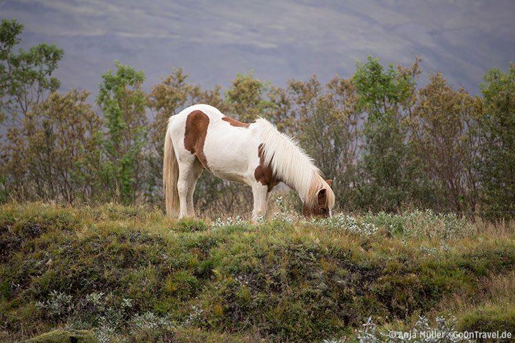 Island Pferd beim Grasen