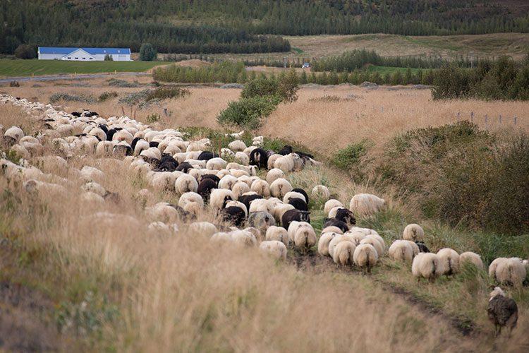 Den Schaftrieb auf Island erlebt man nur im September