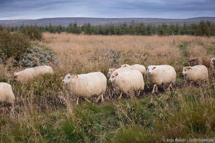 Das Schaf-Treiben auf Island erlebt man immer im September.