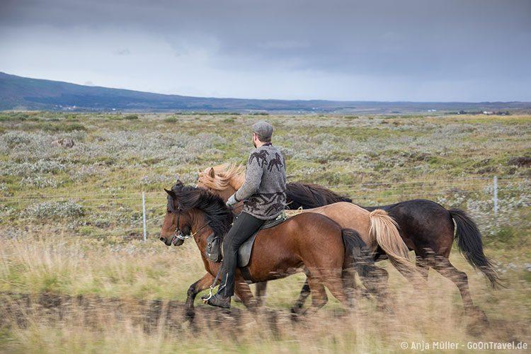 Island Pferde spielen beim Schaf-Treiben eine wichtige Rolle.