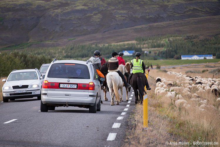 Schaf-Treiben auf Island