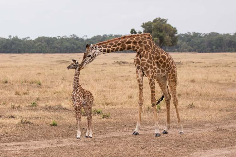 So bezaubernd, eine wenige Tage alte Giraffe mit Mutter