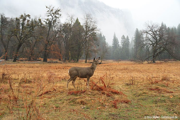 Ein Mule Deer gesichtet im Yosemite Nationalpark