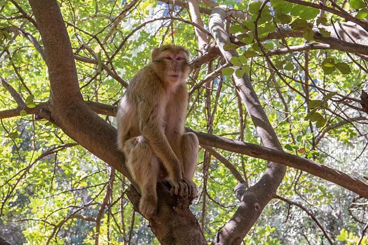 Berber-Affe in der Nähe der Ouzoud-Wasserfälle