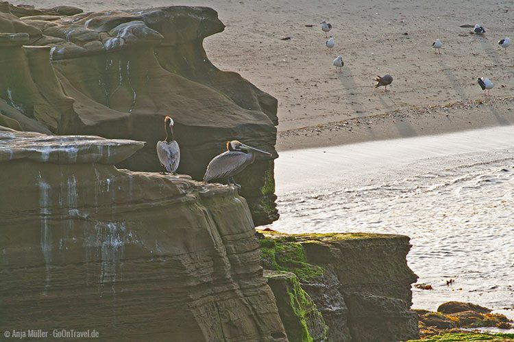 Pelikane in der LaJolla Cove
