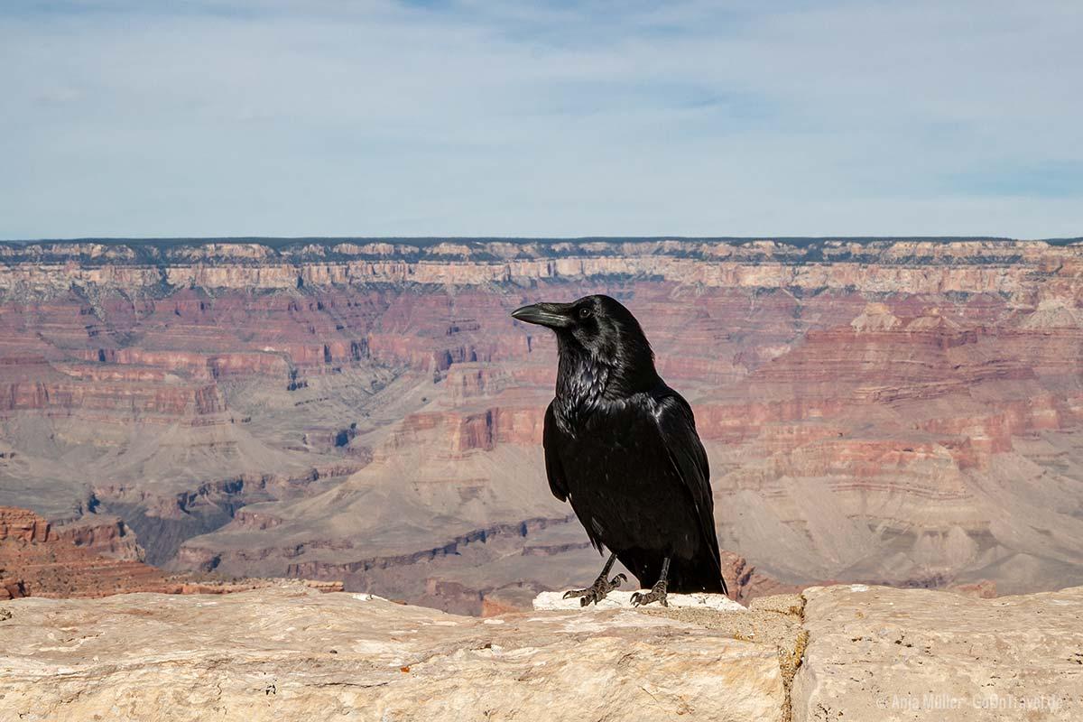 Ein große Rabe vor dem Grand Canyon