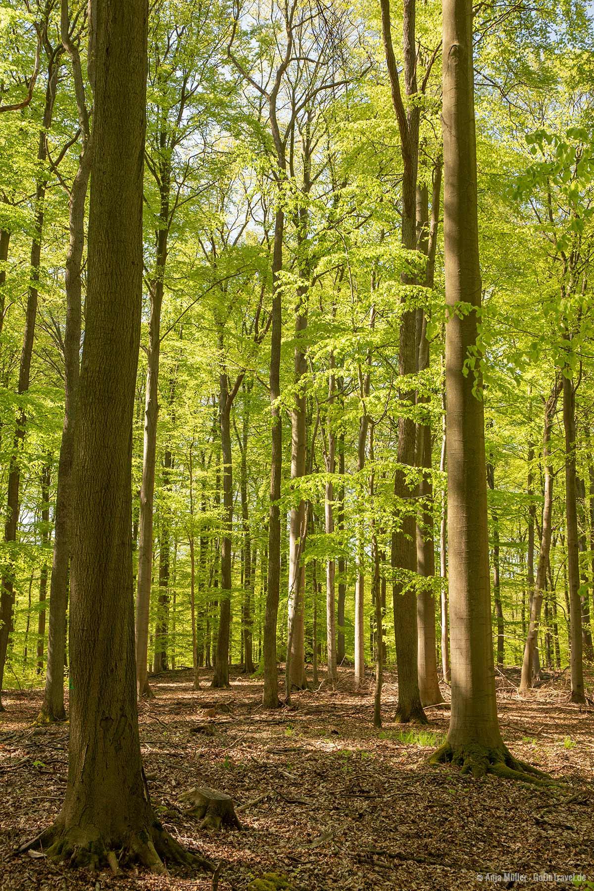 Grumsiner Forst im Frühjahr