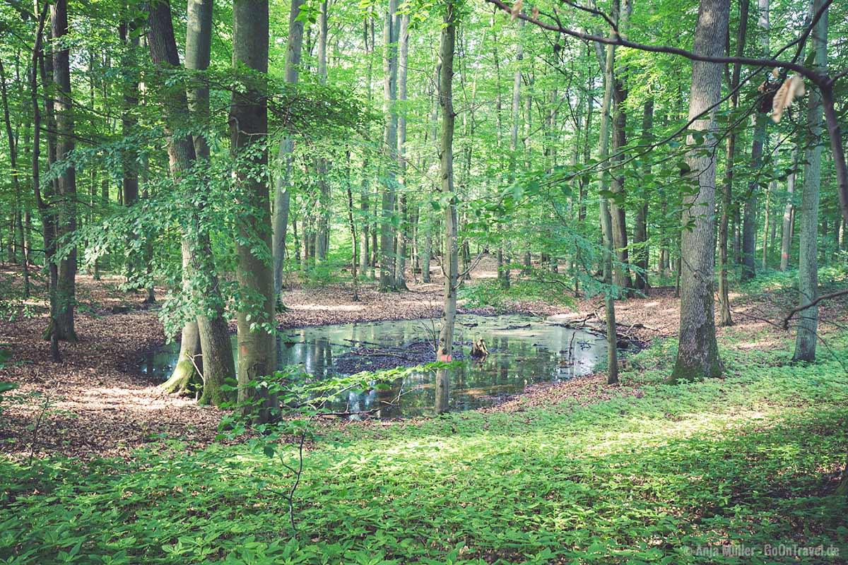 Eingelagerte Wasserfläche im Forst Grumsin