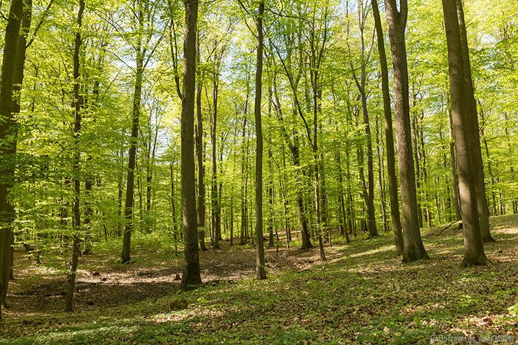 Ein Wald voller Buchenwälder - der Grumsiner Forst