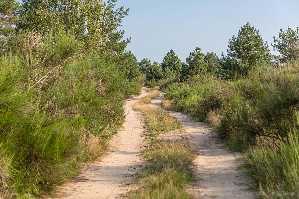 Ginstersträucher in der Jännersdorfer Heide