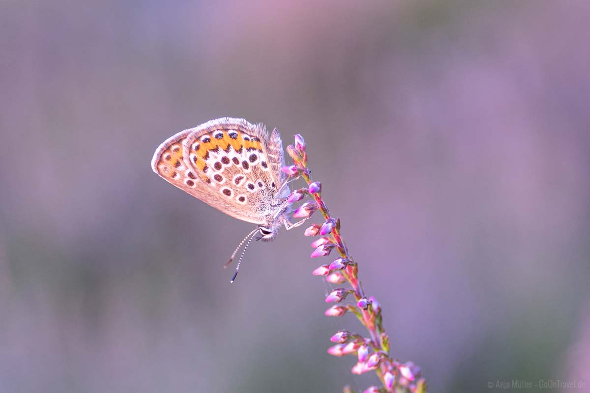 Schmetterling auf der Besenheide