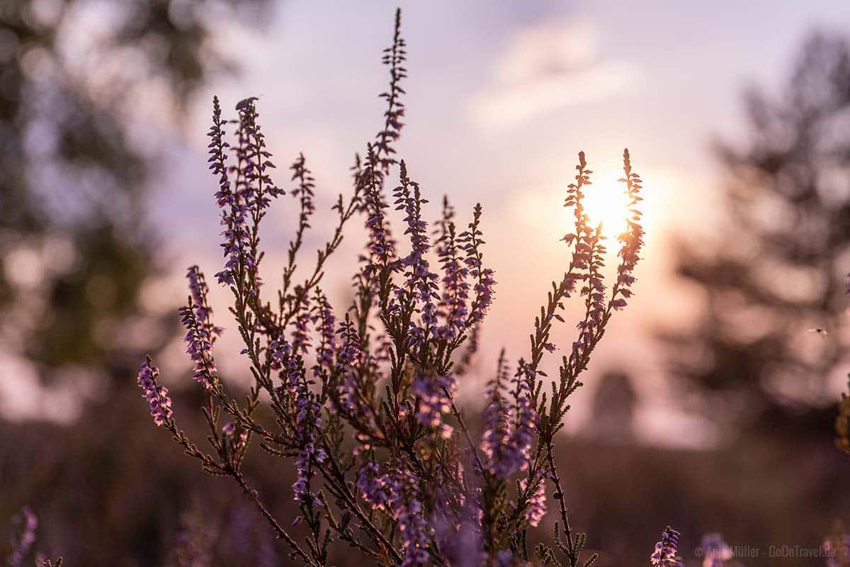 Heide im Sonnenuntergang
