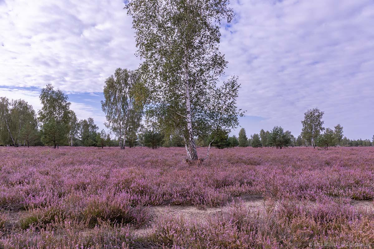 Schönste Heide Brandenburg