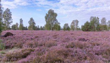 Heide Brandenburg: 8 wundervolle Heidelandschaften