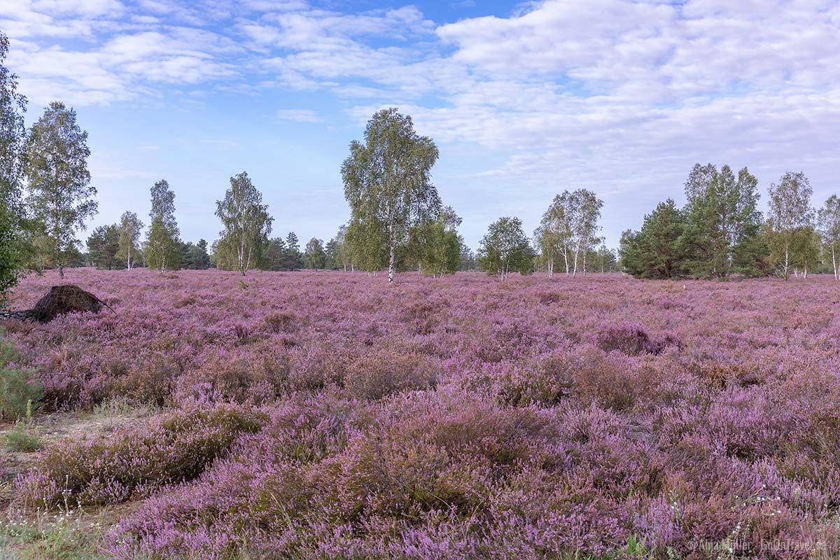 Heide Brandenburg: 8 wundervolle Heidelandschaften | GoOnTravel.de - Folge deinem Fernweh