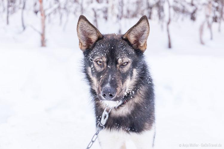Was soll dieser Blick vom Husky nur bedeuten?