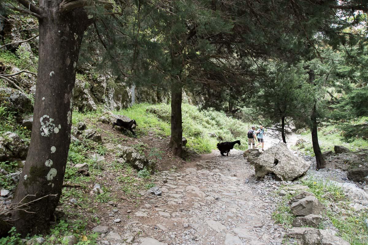 Ziegen kreuzen den Wanderweg