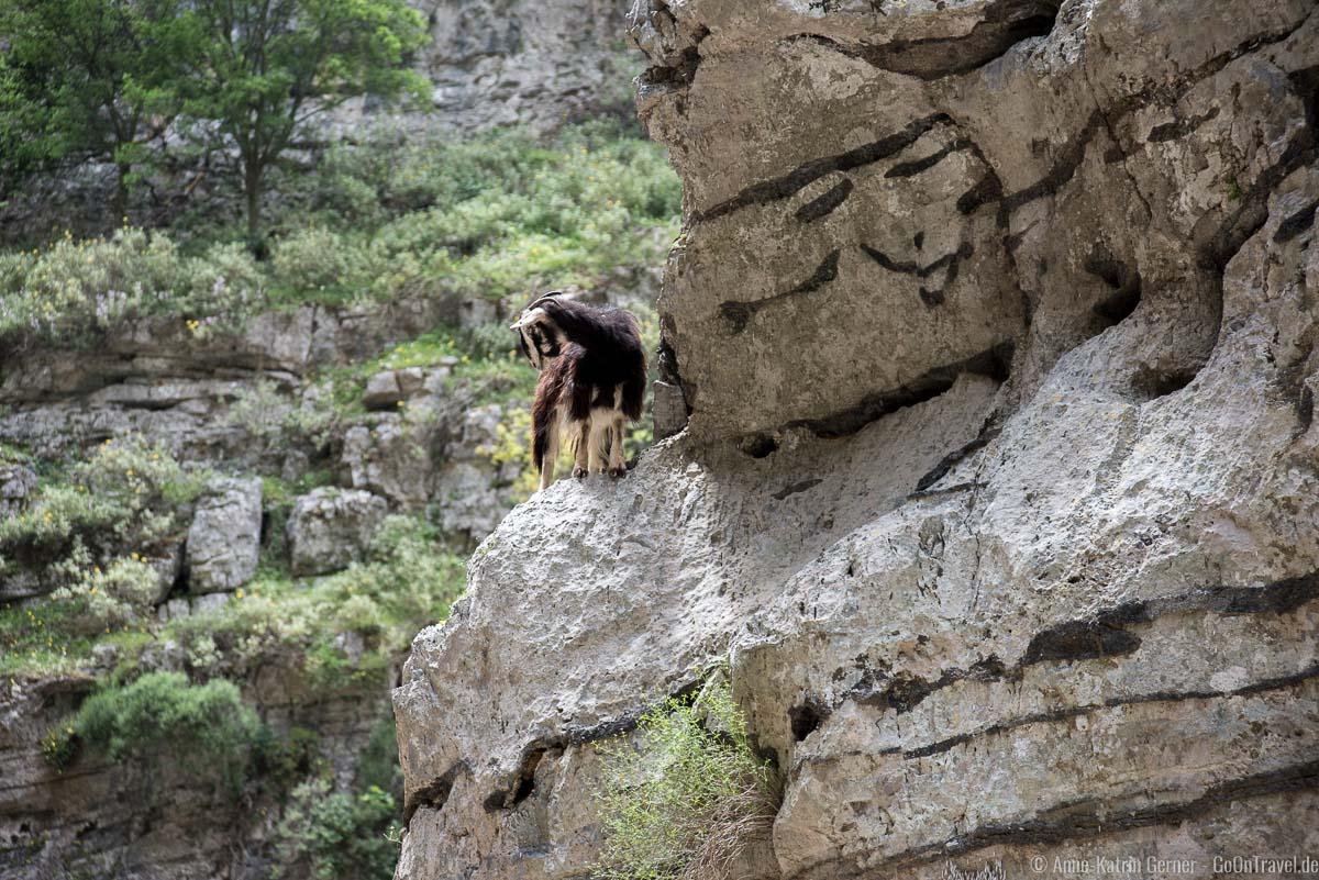 Ziege in den Steilwänden der Imbros-Schlucht