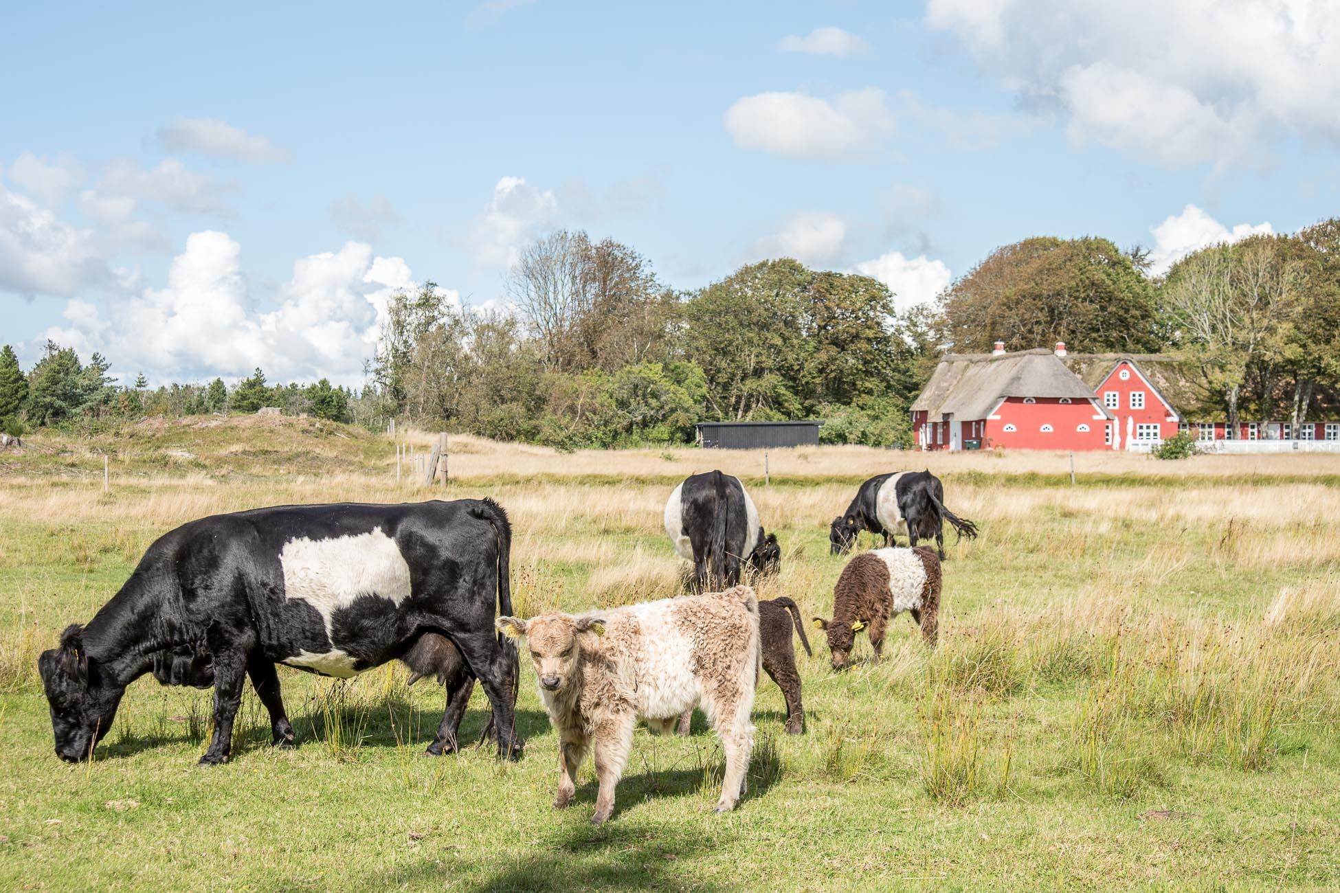 Insel Roemoe Dänemark Kühe