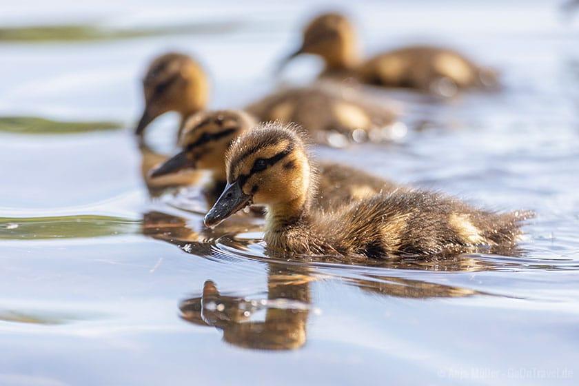 Jungente auf dem See