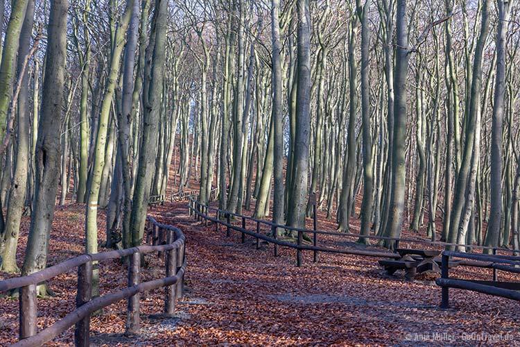 Buchenwälder im Nationalpark Wollin