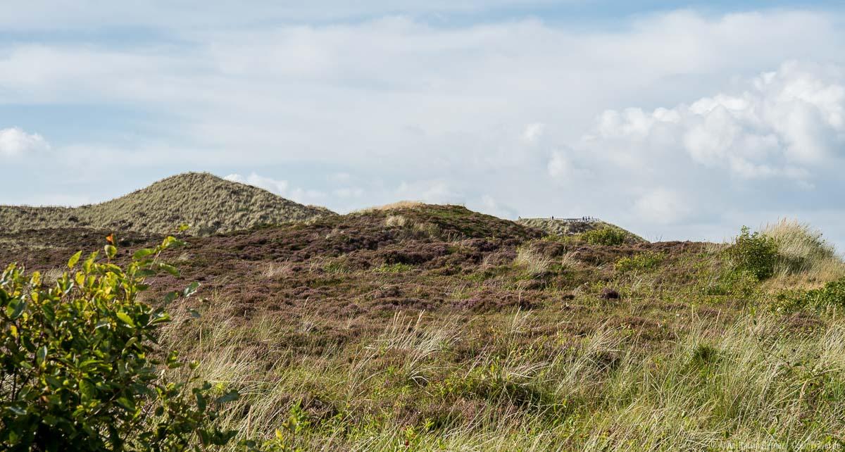 Dünenlandschaft zur Heideblüte auf Sylt