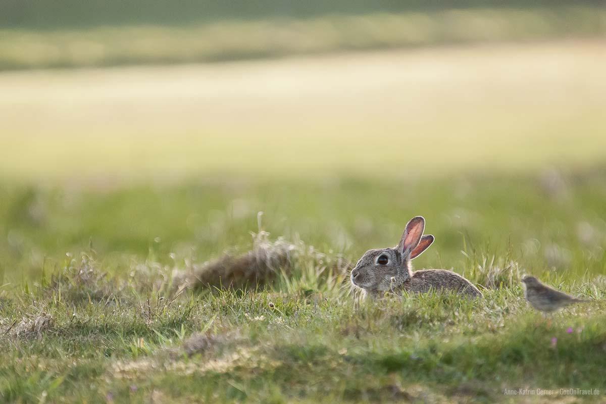 Kaninchen halten sich gerne in den Dünen auf