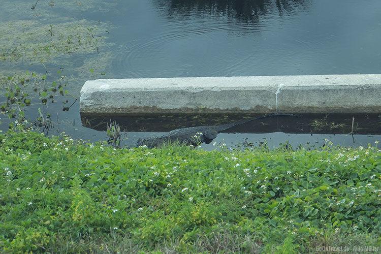 Ein Alligator auf Cape Canaveral