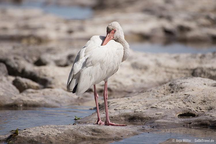 Ein Ibis auf einer Insel der Florida Keys