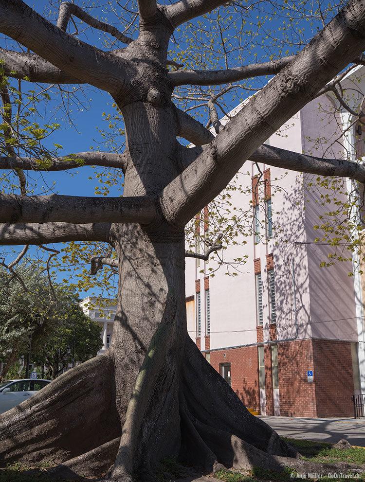 Der 40 m hohe Kapokbaum vor dem Gerichtsgebäude