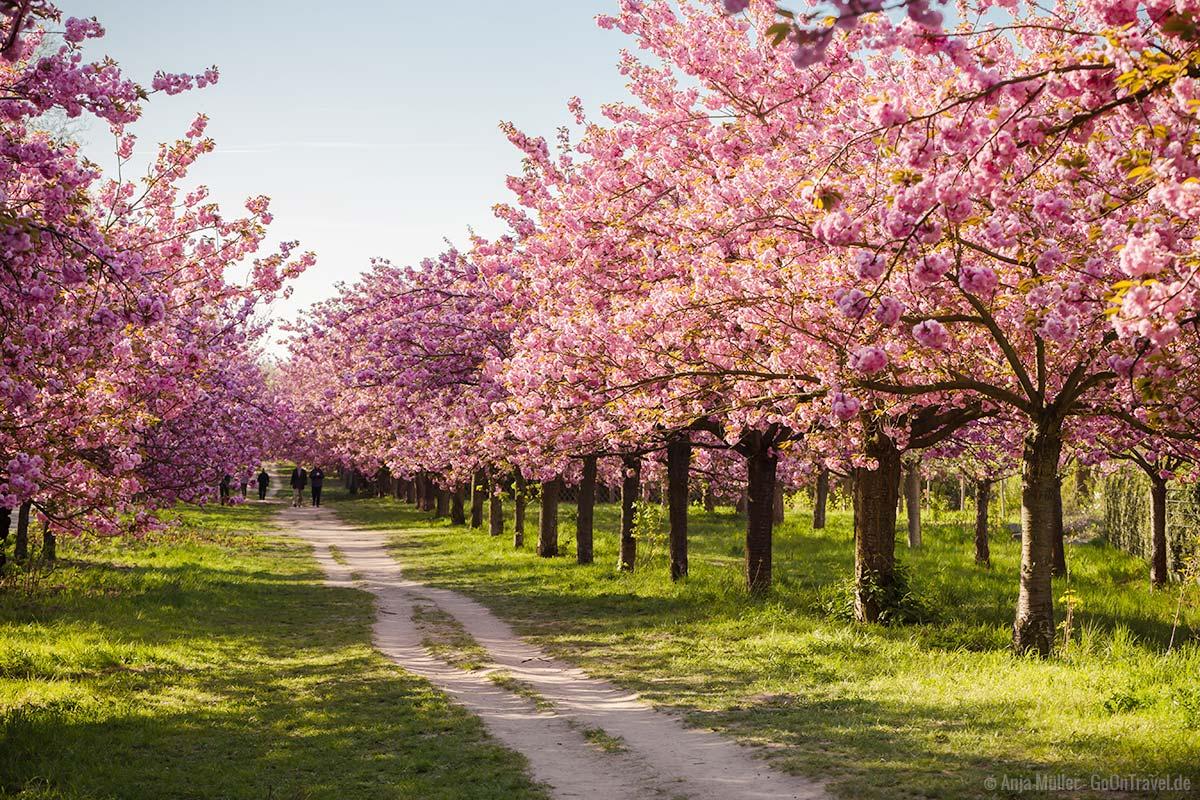 Die Kirschbaumallee in Teltow