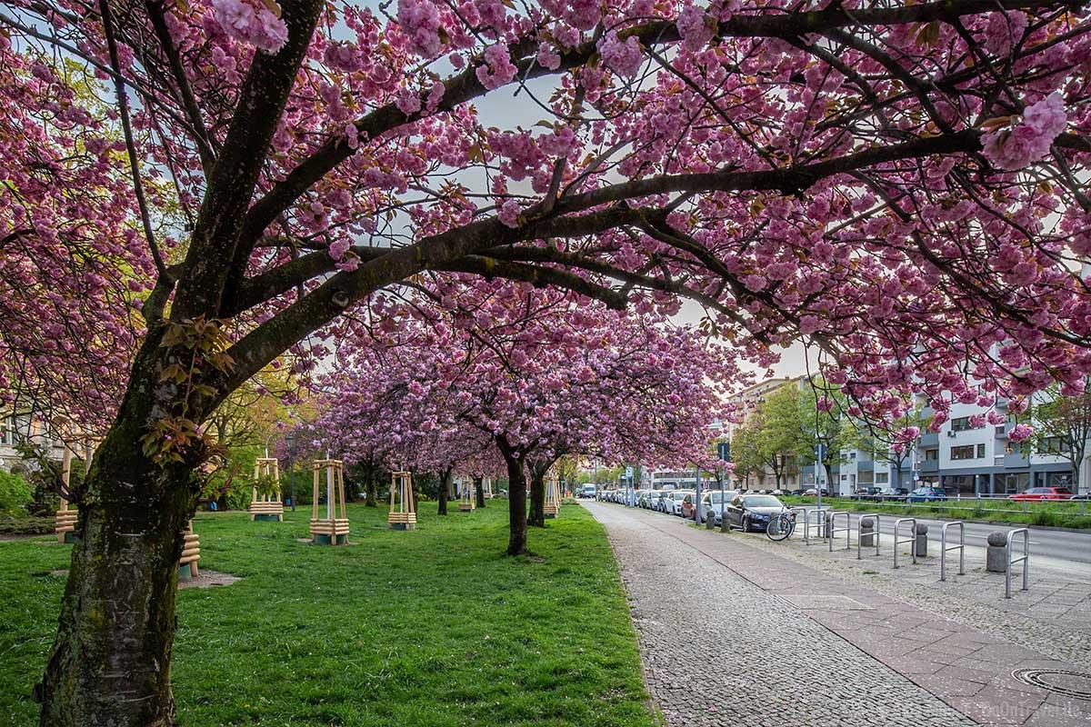 Über 60 Jahre alter Kirschbaum am Hohenzollernplatz