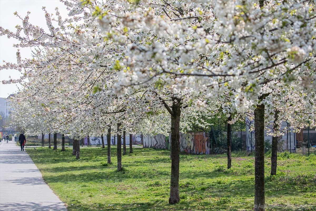 Weiße Kirschblüten im Blankensteinpark