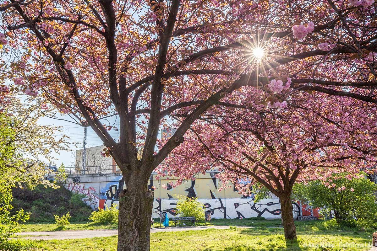 Kirschblüte im Park an der Frankfurter Allee